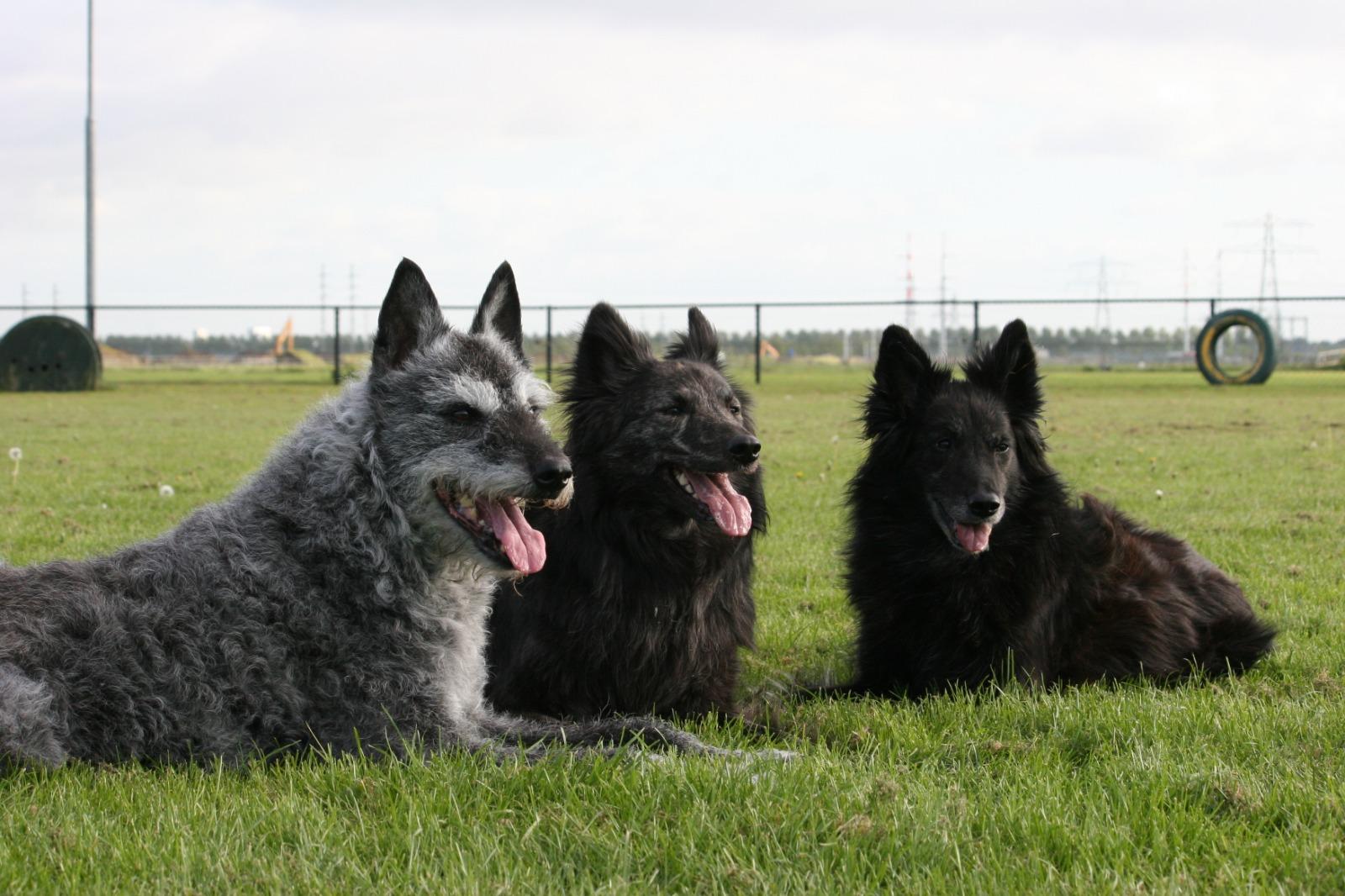 3 honden